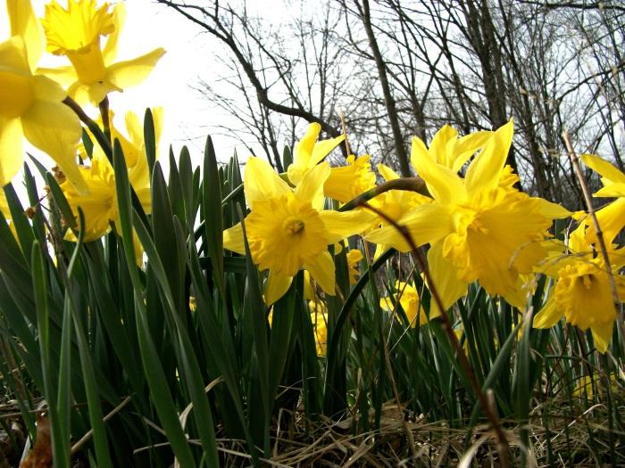 daffodils-edited