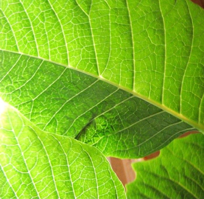 leaf-vein-3